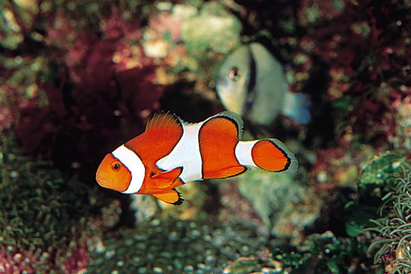 Amphiprion ocellaris export