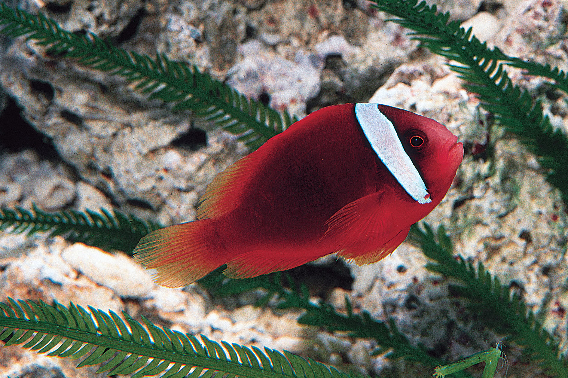 Clownfish Amphiprioninae Wholesale Export - Jy Lin Trading Taiwan