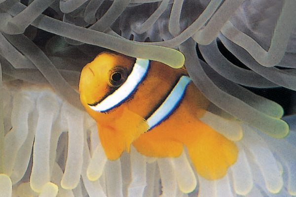 Amphiprion clarkii export