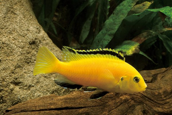 Labidochromis caeruleus Export