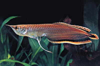 Ancient Fish Export