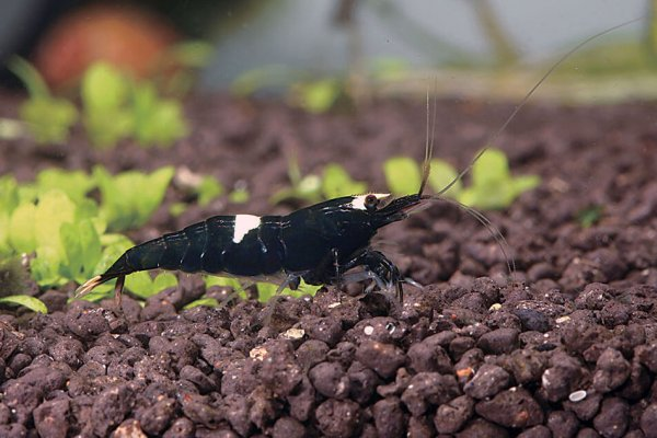 Black King Kong shrimp export