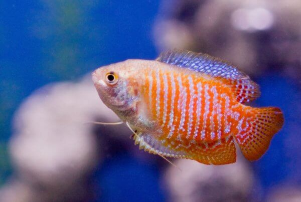 Gourami Wholesale