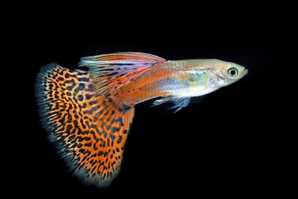 Guppy Wholesale Export