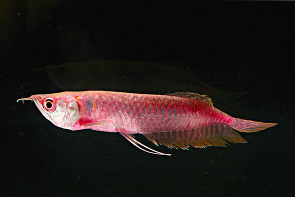 Ancient Fish Export - Jy Lin Trading Tropical Fish Wholesale