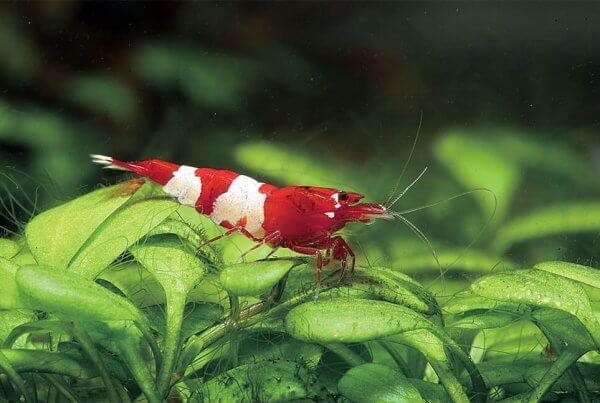 Red Panda Shrimp Export