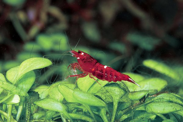 Ruby Shrimp Ornamental Export