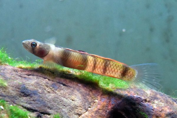 Sicyopus zosterophorum