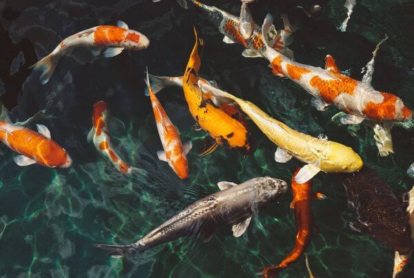 Koi Fish Global Export