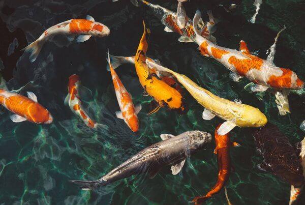 Koi Fish Global Export
