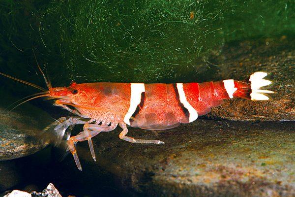 白帶匙指蝦-Atyopsis