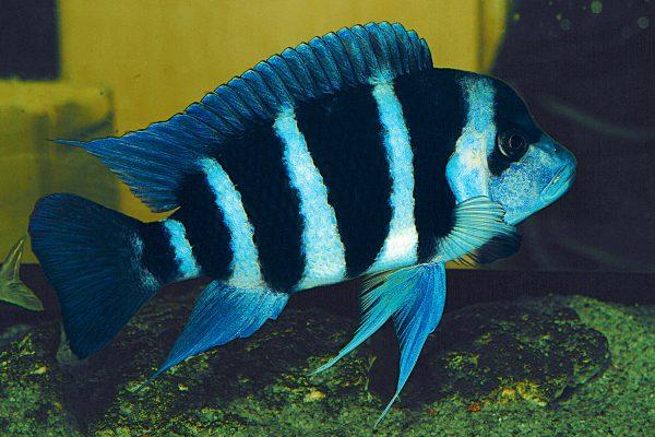 Cyphotilapia frontosa blue zaire