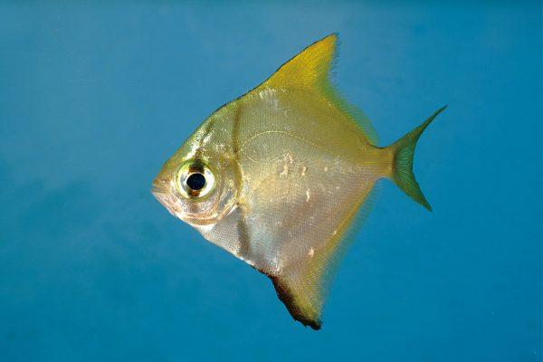 Monodactylus sabae
