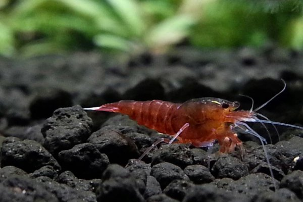 Red Diamond Shrimp