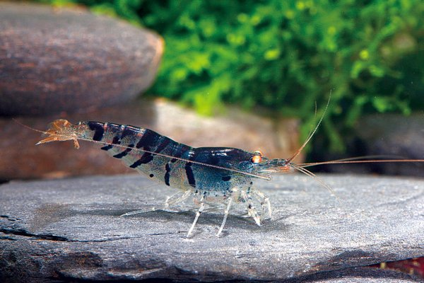 Caridina sp. 'blue tiger golden eye'