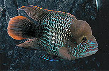 American Cichlid Tropical Fish Exporter | Jy Lin Trading